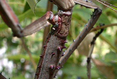 Phasmatodea, Stick Insect