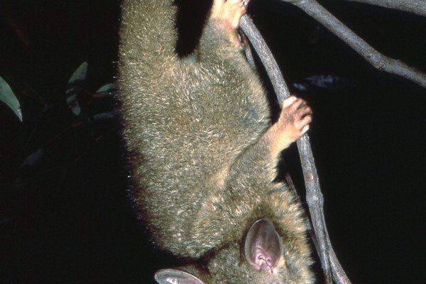 Trichosurus vulpecular