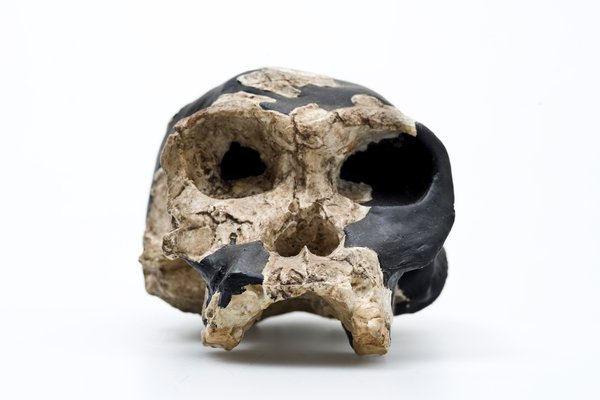 Homo habilis skull front view