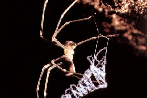 Progradungula carraiensis