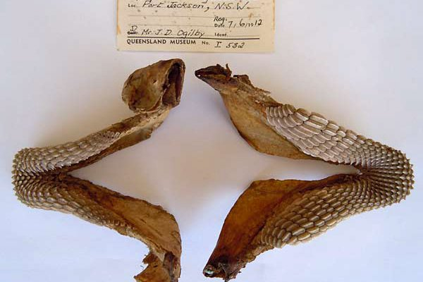 Crested Hornshark, Heterodontus galeatus