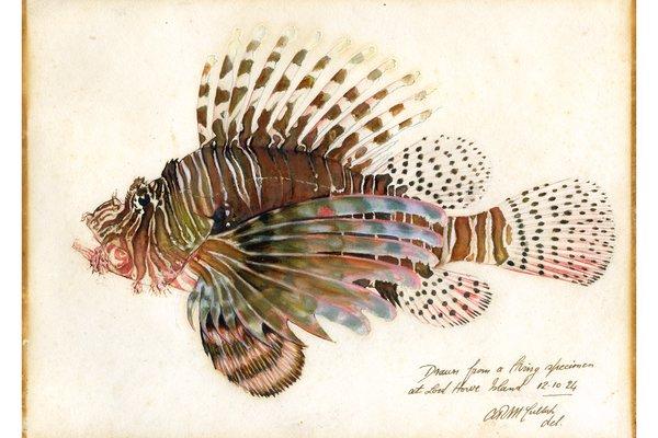 Lion Fish drawing