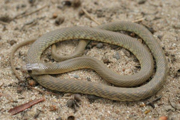 Western Brown Snake Pseudonaja mengdeni