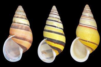 Amphidromus