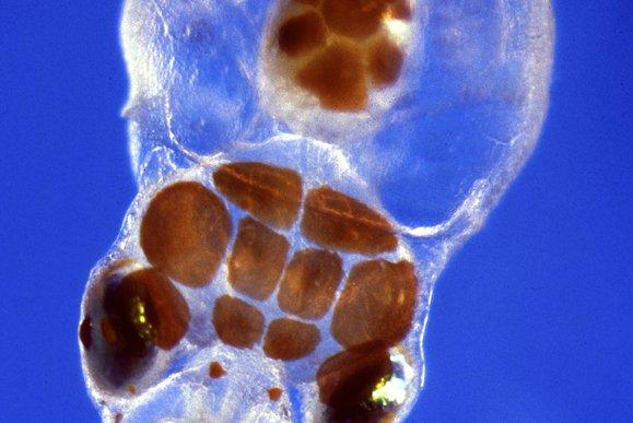 Octopus larva