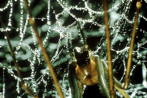 Hickmania troglodytes sheet web