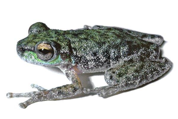Peppered Tree Frog, Litoria piperata