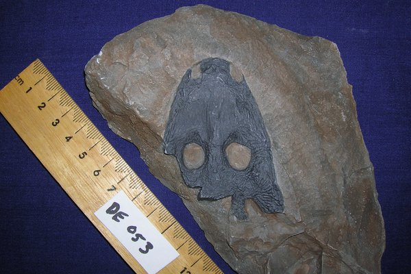 Fossil Parotosaurus wadei