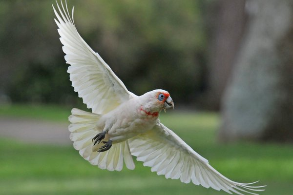 Cacatua tenuirostris, Long Billed Corella