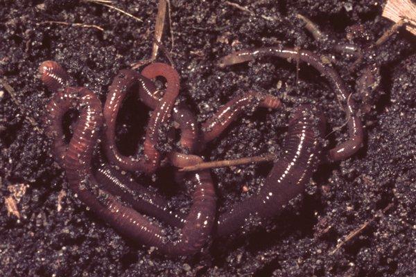 An Earthworm