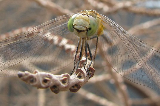 Smile! - Female Wandering Percher Dragonfly - Megan Beltramelli