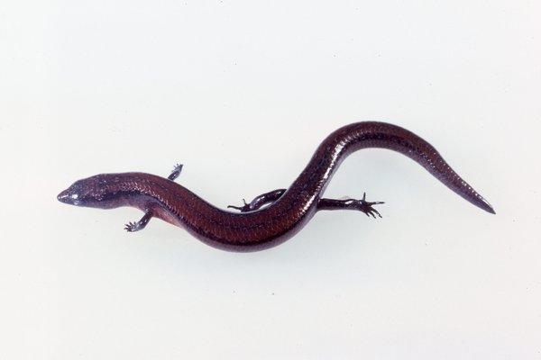 R.77736 - Nannoscincus rankini
