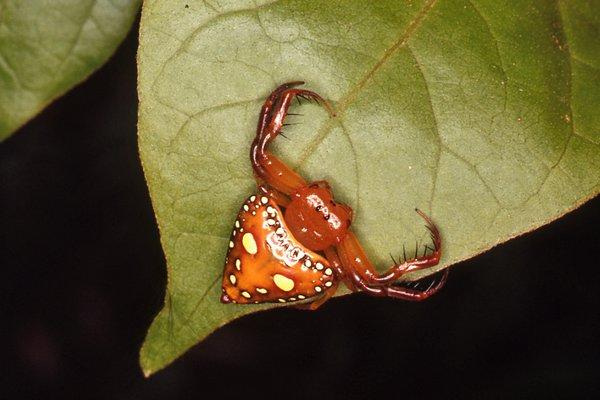 Triangular Spider waiting on leaf edge