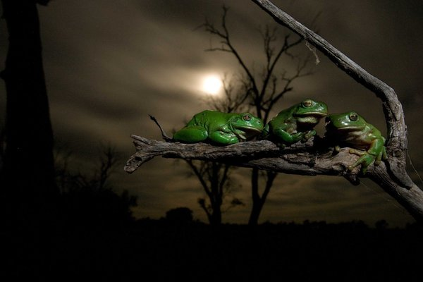 Frogs on a tree