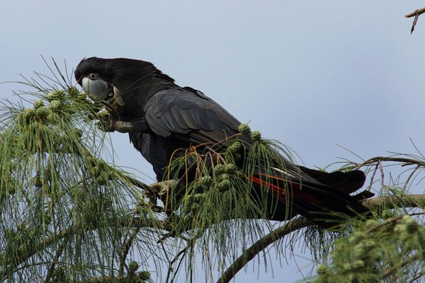 Redtail Black Cockatoo