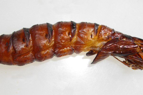 Wood Moth Pupa Case