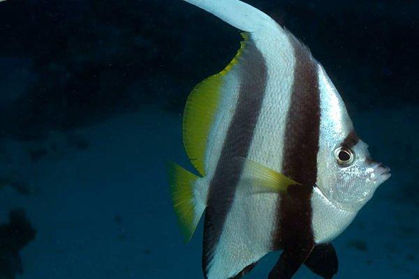 Schooling Bannerfish, Heniochus diphreutes
