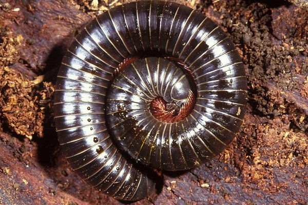 Spirobolid millipede