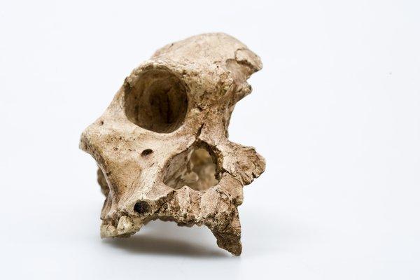 Australopitheus africanus