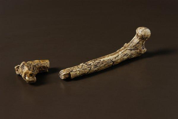 Upper leg bone of Australopithecus afarensis 'Lucy'