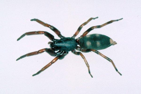 Lampona cylindricata