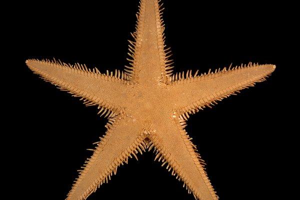 J7556 Astropcepten vappa