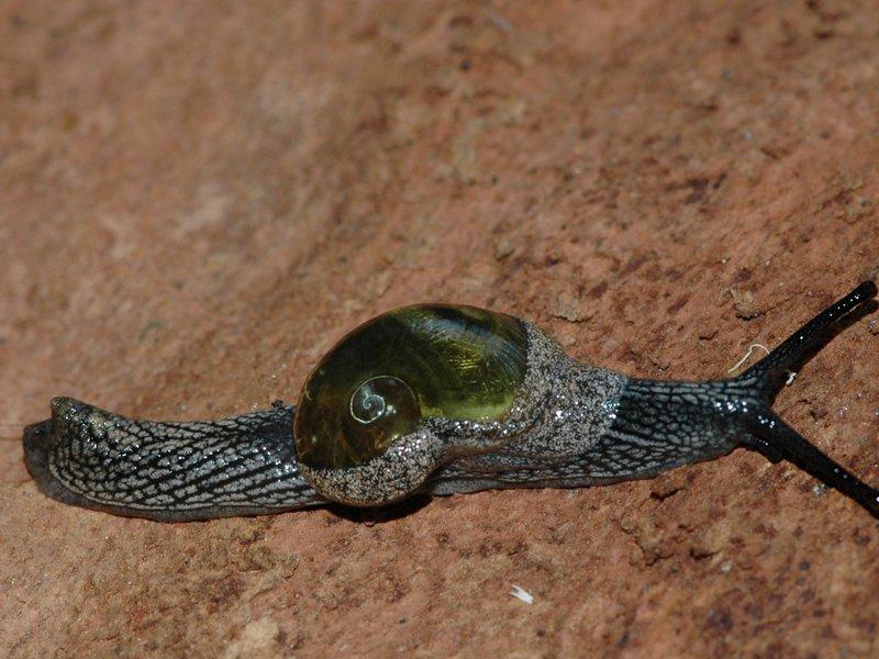 Helicarion cuvieri, Brindabella Range, NSW