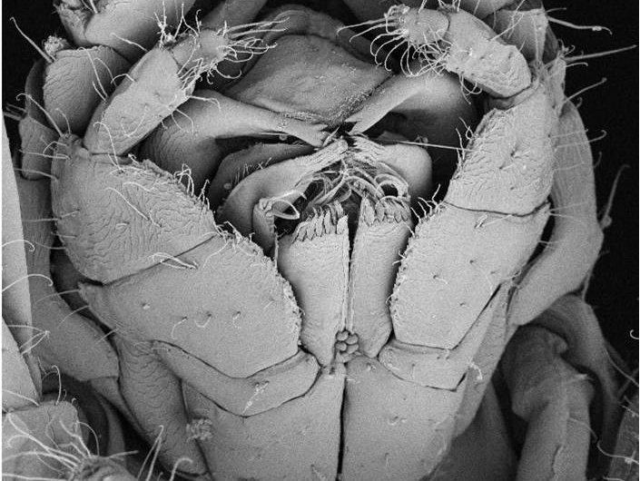 Ianiropsis species 758