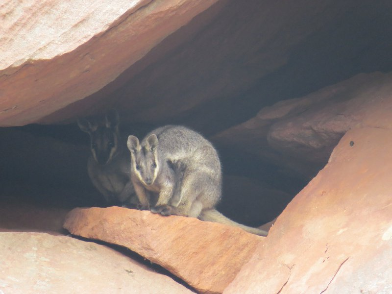Black-flanked rock wallabies (Petrogale lateralis lateralis)