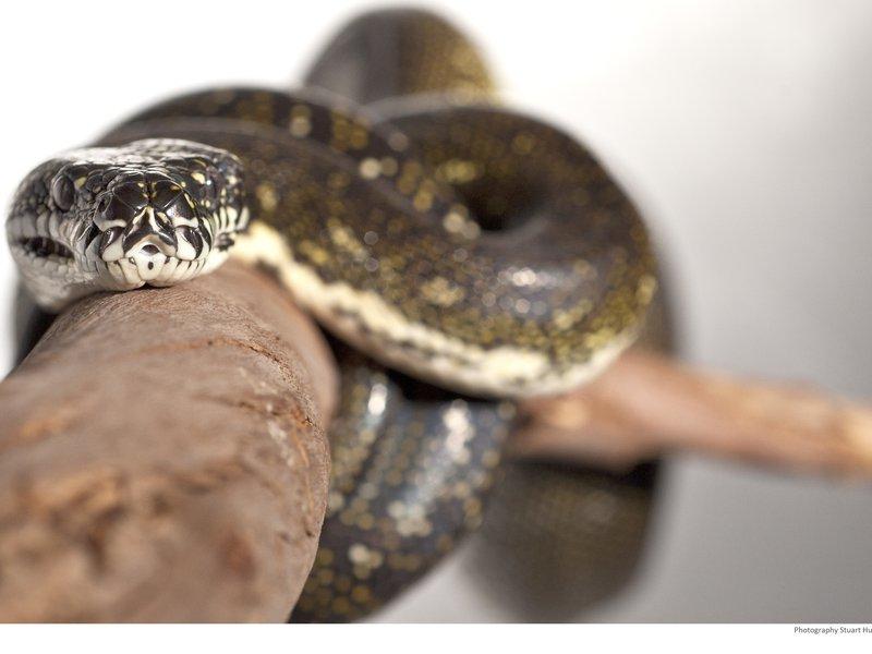 Diamond Python, Morelia spilota spilota, on branch.