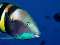 Eastern King Wrasse, Coris sandeyeri