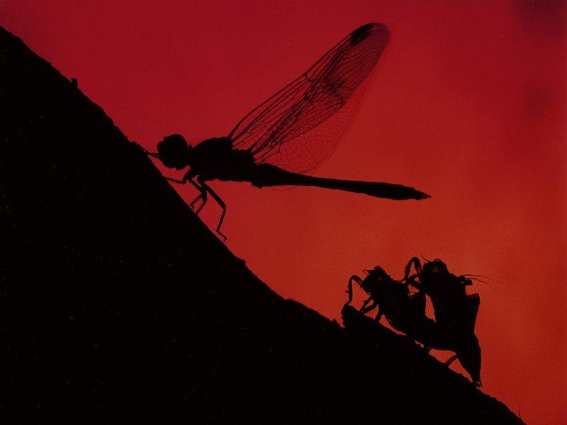 Dragonfly Sunrise