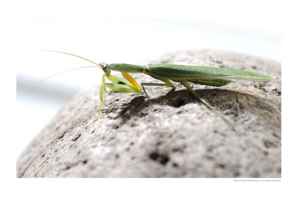 Orthodera ministralis (green mantid)