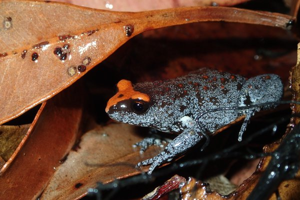 Red-crowned Toadlet (Pseudophryne australis)