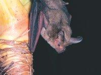 Nyctophilus arnhemensis