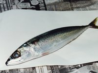 Dissection of a Blue Mackerel, Scomber australasicus
