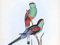 """Beautiful parakeet"" The Birds of Australia : in seven volumes / by John Gould."