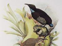 Victorias Riflebird