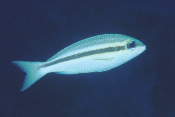 Scolopsis affinis