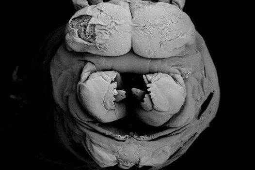 Bloodworm, Marphysa sp - SEM