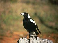 Cracticus (Gymnorhina) tibicen, Australian Magpie