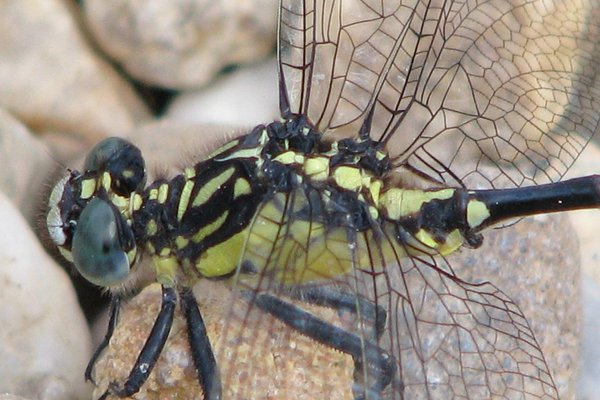 Southern Vicetail dragonfly close up