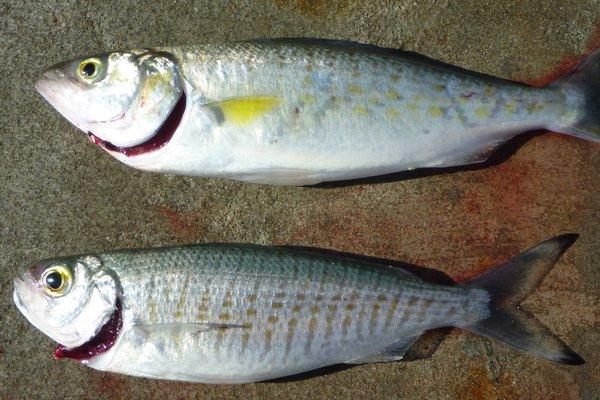 Western Australian Salmon and Australian Herring