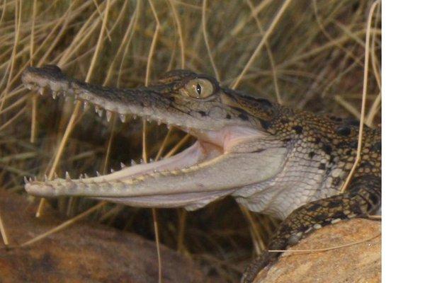 Saltwater Crocodile, Crocodylus porosus