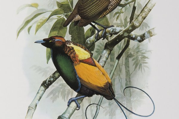 Magnificent Bird of Paradise