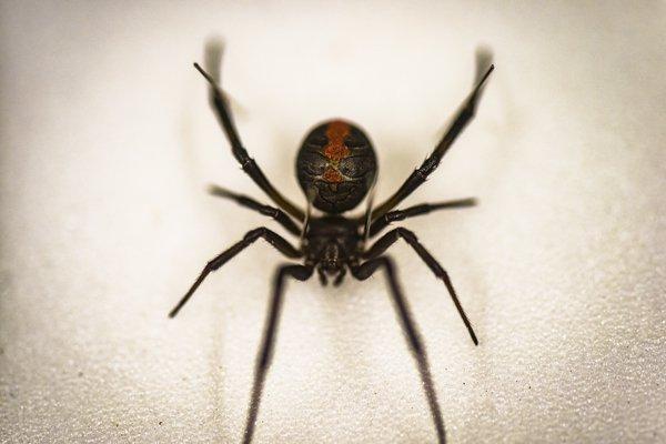 Redback spider - Latrodectus hasseltii
