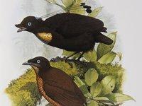 Eastern Parotia
