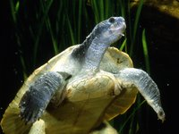 Mary River Turtle, Elusor macrurus
