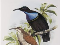 Magnificent Riflebird