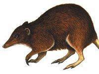 Australia's extinct mammal, the Riversleigh Tube-nosed Bandicoot